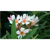 Oleandr - semínka rostliny 5 ks