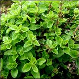 Majoránka zahradní - semena 0,4 g