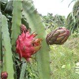 Pitaya - Dračí ovoce  - semínka rostliny 7 ks