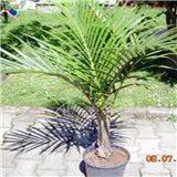 Palma Vřetenová  - semínka rostliny 4 ks