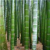 Král Bambusů semínka rostliny 3 ks