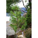 Borovice Himalájská  semínka rostliny borovice 4 ks