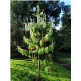 Borovice Bhútánská  - semena 8 ks