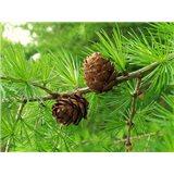 Modřín Sibiřský - semena 12 ks