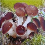 Polnička Topolová sadba hub