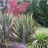 Novozálandský Lenovník - semínka rostliny 10 ks