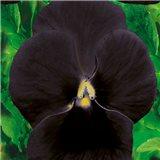 Maceška zahradní-Black king - semena 0,2 g