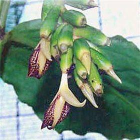 http://www.semena-rostliny.cz/10496-thickbox/semena-zazvoru-okrasneho.jpg