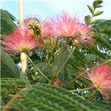 Perská akácie Albílá  zie (rostlina: Albizia julibrissin) - 2 semínka