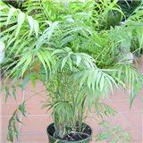 Palma horská (palma: Chamaedorea elegans) - 4 semena