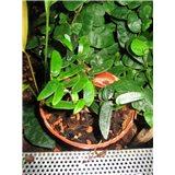 Fíkovník (rostlina: Ficus punctata)   semínka rostliny