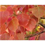 Fíkovník posvátný (rostlina: Ficus religiosa)  semínka rostliny