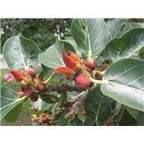 Fíkovník banyán (rostlina: ficus benghalensis)  semínka rostliny