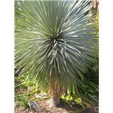 Juka rostrata (rostlina: Yucca rostrata)   5 semen