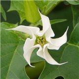 Durman obecný (rostlina: Datura stramonium)   semínka rostliny