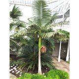 Palma Královská ( rostlina: Archontophoenix cunninghamiana)   semínka rostliny