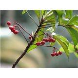 Klíman (rostlina: Ardisia crispa)   semínka rostliny