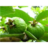Kvajáva ( rostlina: Psidium guajava)    semínka rostliny