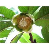 Dilenie indická (rostlina: Dillenia indica)   semínka rostliny