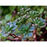 Aeonium spathulatum (rostlina: Aeonium spathulatum)   semínka rostliny