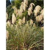 Okrasná tráva ( rostlina: Chionochloa conspicua)  10 semen