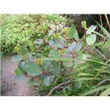 Blahovičník Aplnina (rostlina: Eucalyptus alpina)  7 semen