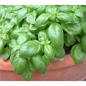 http://www.semena-rostliny.cz/10685-thickbox/bazalka-jemnolista.jpg