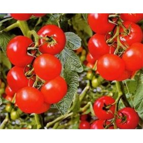 http://www.semena-rostliny.cz/10702-thickbox/rajce-philovita.jpg
