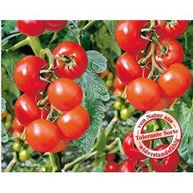 http://www.semena-rostliny.cz/10703-thickbox/rajce-phantasia.jpg