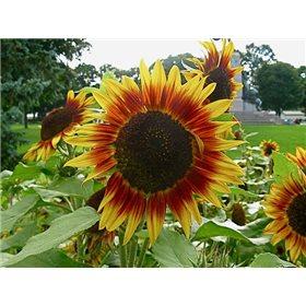 http://www.semena-rostliny.cz/10728-thickbox/slunecnice-helianthus-pro-cut-bicolor.jpg