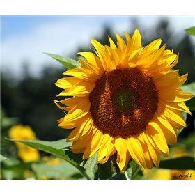 http://www.semena-rostliny.cz/10731-thickbox/slunecnice-helianthus-snack.jpg