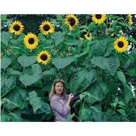 http://www.semena-rostliny.cz/10733-thickbox/slunecnice-helianthus-king-kong.jpg