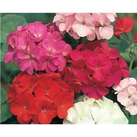 http://www.semena-rostliny.cz/10735-thickbox/pelargonium-zonale-mix.jpg