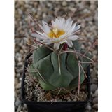 Kaktus hexadrophorus (rostlina: Thelocactus hexadrophorus – 6 semen