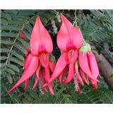 Clianthus (rostlina: clianthus puniceus) 7 semen