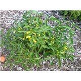 Chilli Hungarian Yellow (rostlina: capsicum) – semena chilli 7 ks