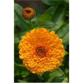 http://www.semena-rostliny.cz/11559-thickbox/calendula-o-ma-s-atek-v-pl.jpg