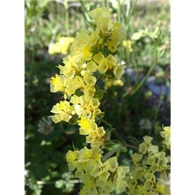http://www.semena-rostliny.cz/11990-thickbox/limonium-bond-limonka-b-lll.jpg