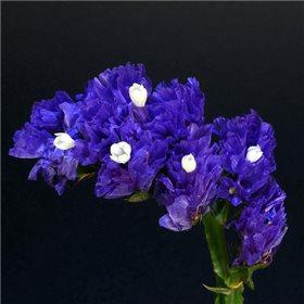 http://www.semena-rostliny.cz/11996-thickbox/limonium-sin-limonka-mo.jpg
