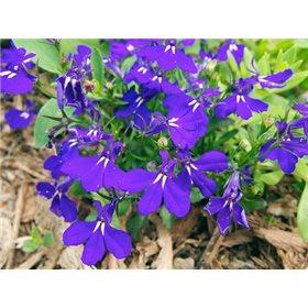 http://www.semena-rostliny.cz/12019-thickbox/lobelia-er-lobelka-mo.jpg