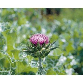 http://www.semena-rostliny.cz/15460-thickbox/ostropestl-ec-mari-nsk-l.jpg