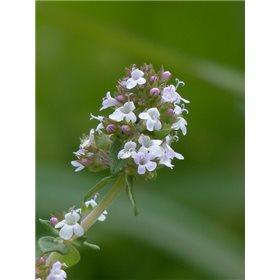 http://www.semena-rostliny.cz/16931-thickbox/tymi-n-obecn-l.jpg