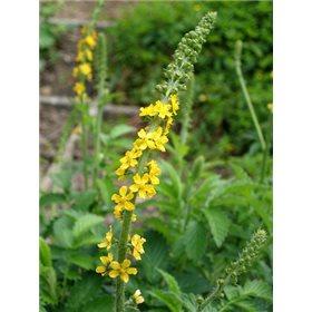 http://www.semena-rostliny.cz/17347-thickbox/l.jpg