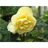 Begonia YELLOW 2ks