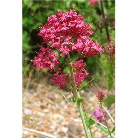 http://www.semena-rostliny.cz/18067-thickbox/centranthus-ruber-mavul.jpg