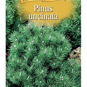 http://www.semena-rostliny.cz/22983-thickbox/pinus-uncinata-borovice-blatk.jpg