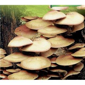 http://www.semena-rostliny.cz/23009-thickbox/kuehneromyces-mut-opa-nka-sh.jpg