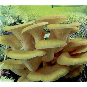 http://www.semena-rostliny.cz/23015-thickbox/pleurotus-cor-hl-va-misk-lll.jpg