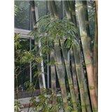 Bambus trnitý (Bambusa bambos Giant) - 3 semen