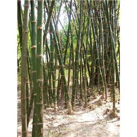 http://www.semena-rostliny.cz/25452-thickbox/dendrocalamus-strictus.jpg